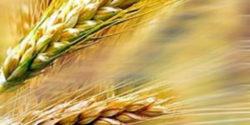 celiachia grano glutine