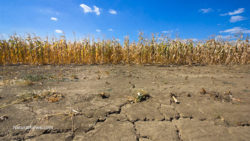 Drought Corn Field Dry Soil Farm Drought