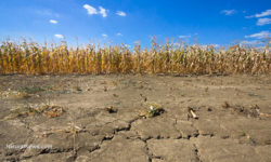 Drought Corn Field Dry Soil Farm Drought