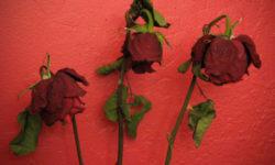 Rose appassite