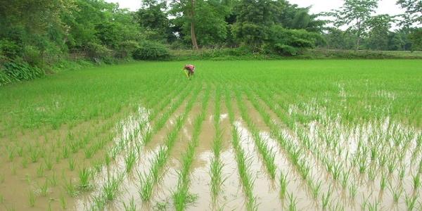India - Record Riso NO-OGM