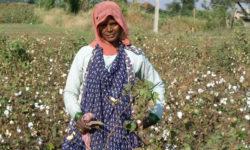 Coltivazione cotone ogm in India
