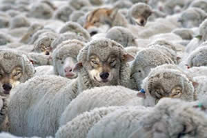 Lupo travestito da agnello