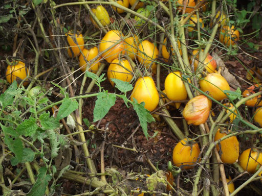 Pomodori senza acqua né pesticidi - Perini Gialli