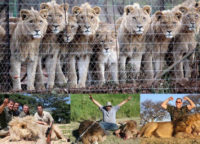 lions canned hunting