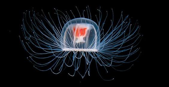 Turritopsis Nutricula, la medusa Immortale