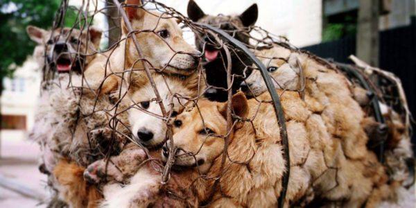 <b>Dog Meat Festival: il 21 giugno Yulin (Cina) si trasforma in un macello a cielo aperto, in cui si massacrano cani.</b>   Per quanto ci si possa appellare alla tradizione, stavolta la tradizione non c'entra. Il macabro Dog Meat Festival, (festival della carne di cane), a Yulin, nella provincia cinese del Guangxi, non affonda le sue radici in un passato remoto, perché è nato meno di dieci anni fa.  In onore del solstizio d'Estate, il 21 giugno, la città si trasforma in un macello a cielo aperto, in cui si massacrano un numero indefinito di cani. 10.000? 15.000? Si fanno stime con un