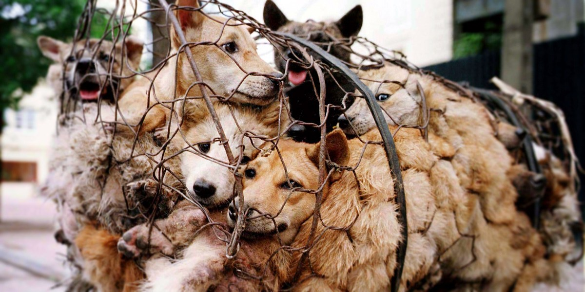 Yulin festival - Carne di cane