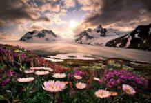 fiori montagna neve
