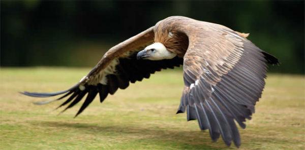 avvoltoio-volo-sogno