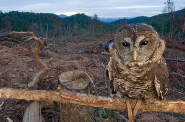 gufo triste nella distruzione del bosco