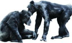 Chimpanzee Bacio
