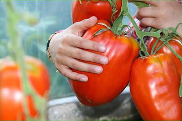 Pomodori giganti di Don José Carmen Garcia Martinez