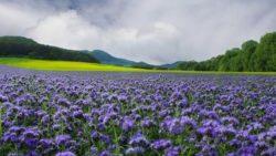"""Una distesa viola, l'effetto creato dalla coltivazione di facelia, la pianta nota anche come """"salva api"""""""
