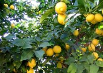 Plastica bio dai limoni