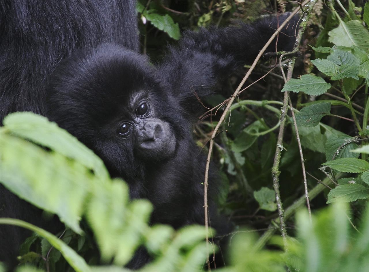 Virunga89